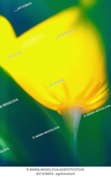 Yellow California Poppy. Eschscholzia californica. June 2006, Maryland, USA