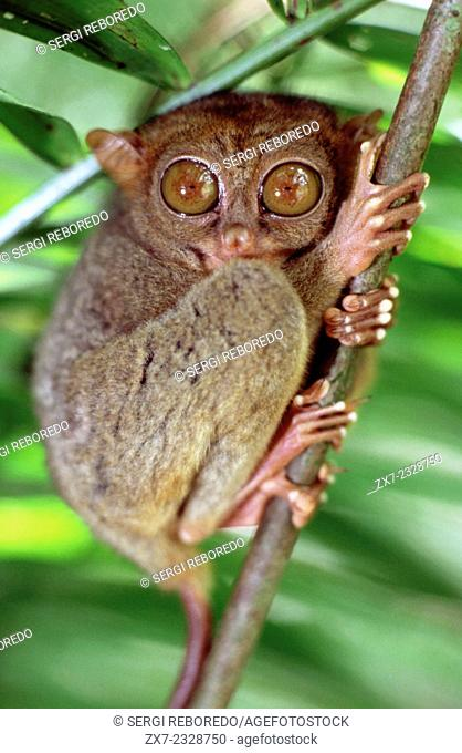 Tarsier. Tarsius Syrichta. Bohol. Las Visayas. Philippines. Tarsiers are haplorrhine primates of the family Tarsiidae, which is itself the lone extant family...