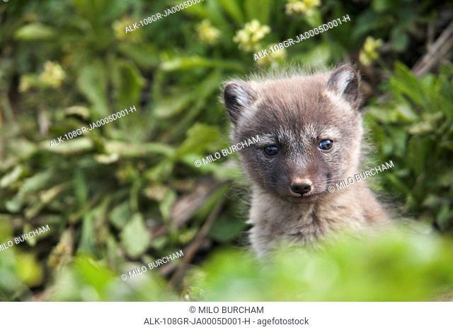 Close up of an Arctic Fox pup peeking out from its den, Saint Paul Island, Pribilof Islands, Bering Sea, Southwestern Alaska, Summer