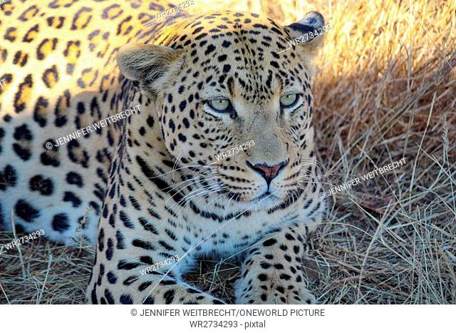 Namibia, Safari, feeding a leopard, Relaxed Leopard