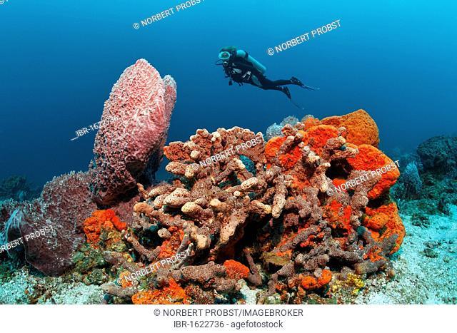 Diver, various multicoloured sponges, sandy ground, Little Tobago, Speyside, Trinidad and Tobago, Lesser Antilles, Caribbean Sea
