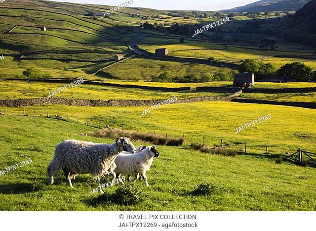 England, Yorkshire, Yorkshire Dales, Swaledale, Sheep