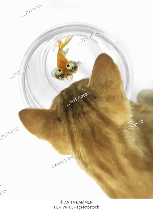 FV6703, Natural Moments Photography, Cat Peering into Fishbowl with Celestine Goldfish Looking up with Expression of Fear