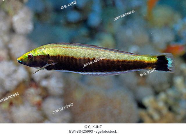 wrasses (Labridae), juvenile, Egypt, Red Sea