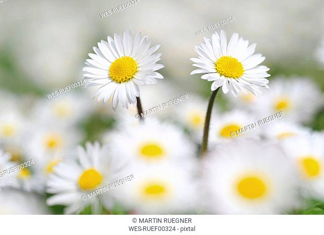 Germany, Bavaria, Daisies Bellis perennis, close-up