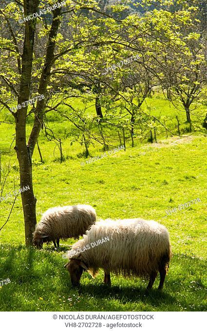 Spain, Asturias, Pria, Asturian sheep