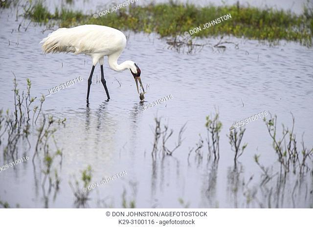 Whooping crane (Grus Americana) Adult eating a captured blue crab, Aransas NWR, Texas, USA