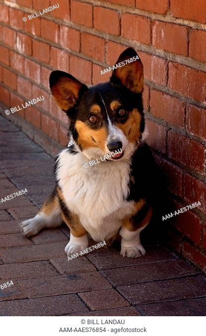 A Welsh Corgi poses with a brick background