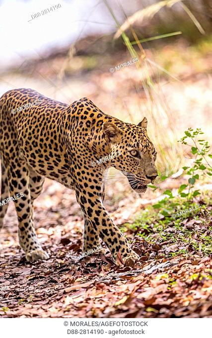 Sri Lanka, Northwest Coast of Sri Lanka, Wilpattu national patk, Sri Lankan Leopard Panthera pardus kotiya),