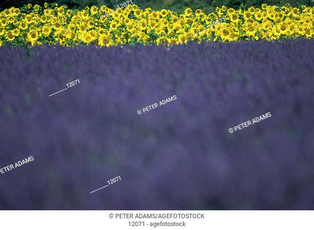 Lavender and sunflowers. Provence. France