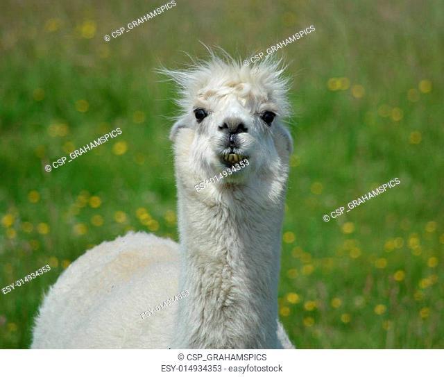 Head and Shoulder of a Llama