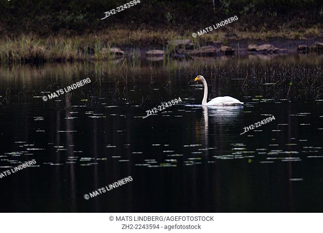 Whooper swan, Cygnus cygnus, swimming in lake with water lilies leaves