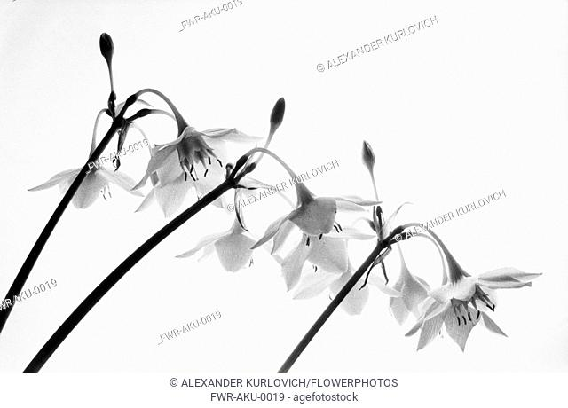 Amazon lily, Eucharis amazonica, Black & white studio shot
