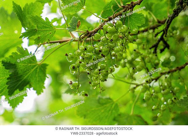 Green wild berries turn red, Red Currant Berry Bush, Iceland. The red currant Ribes rubrum, is a member of the genus Ribes in the gooseberry family