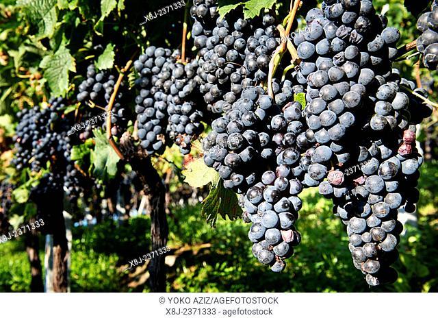 Switzerland, Canton Ticino, Tenero, vineyards