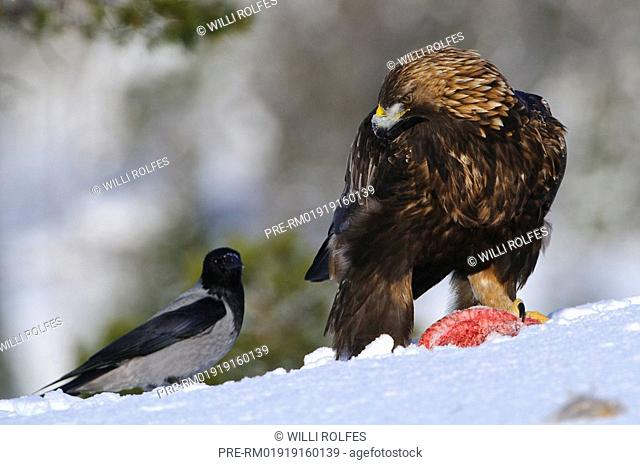 Bald eagle with a bait, Aquila chrysaetos, Norway, Scandinavia, Europe