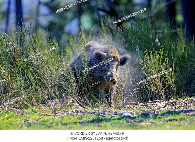 France, Haute Saone, Private park, Wild Boar (Sus scrofa), male