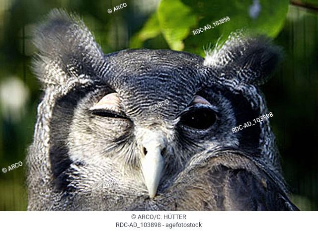 Giant Eagle Owl Bubo lacteus blinking