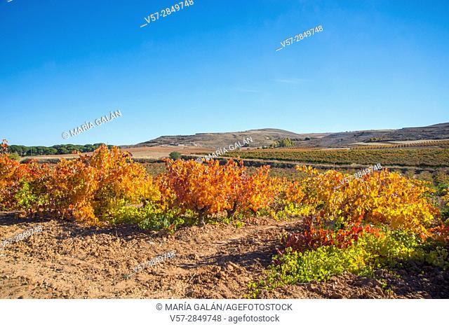 Vineyards. Ribera del Duero, Burgos province, Castilla Leon, Spain