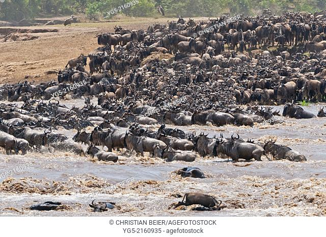 A large heard of Blue Wildebeest (Connochaetes taurinus), gnus crossing the Mara River, Great Migration, Maasai Mara National Reserve, Rift Valley, Kenya