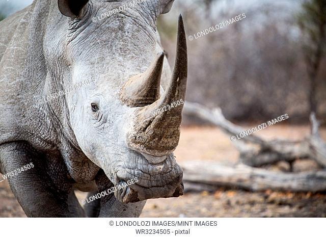 A rhino's head, Ceratotherium simum, alert, two sharp horns