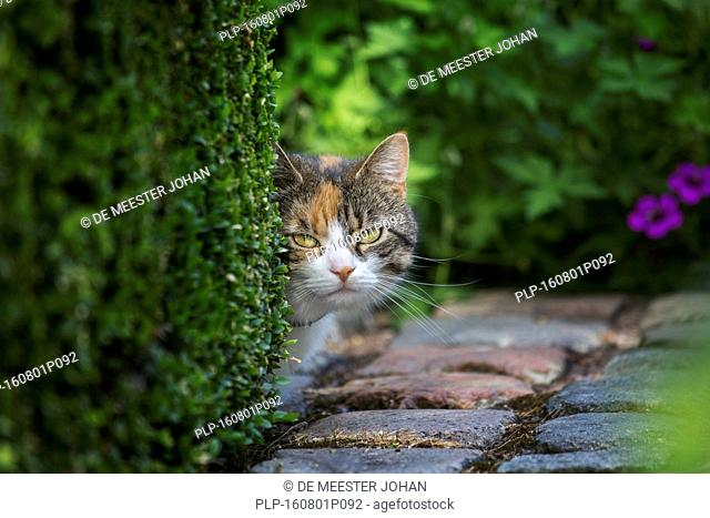 Curious domestic cat looking from behind hedge in garden in summer