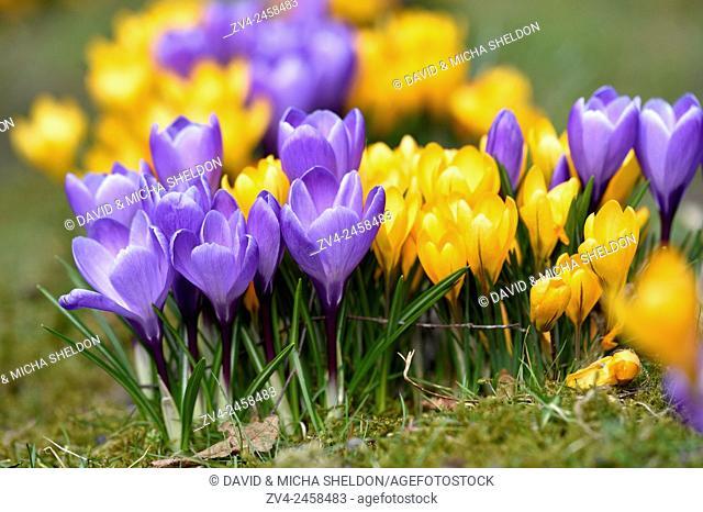 Spring Crocus or Giant Crocus (Crocus cultivars) flowering colourful in spring