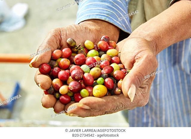 Coffee, Coffee Cultural Landscape, Buenavista, Quindio, Colombia, South America