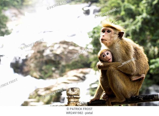 Monkey mother with baby in Sri Lanka