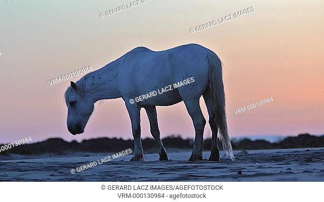 Silhouette of Camargue Horse at Sunrise, Saintes Marie de la Mer in The South of France, Real Time