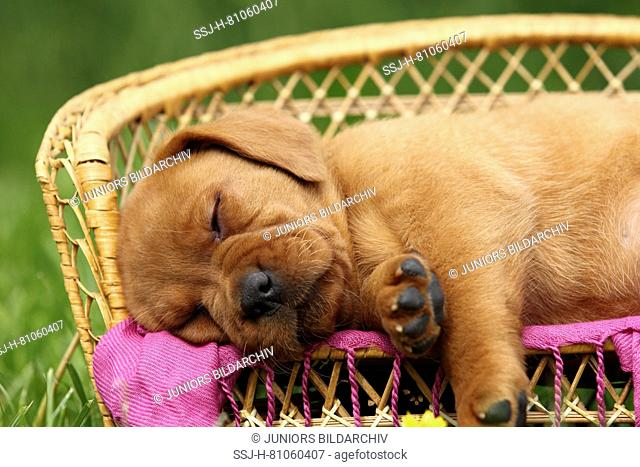 Labrador Retriever. Puppy (6 weeks old) sleeping on a bench. Germany