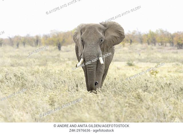 African Elephant (Loxodonta africana), big bull, walking on savannah, looking at camera, Kruger national park, South Africa