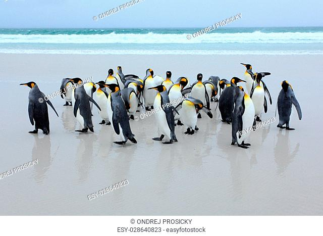 Group of king penguins coming back from the sea on white sand be
