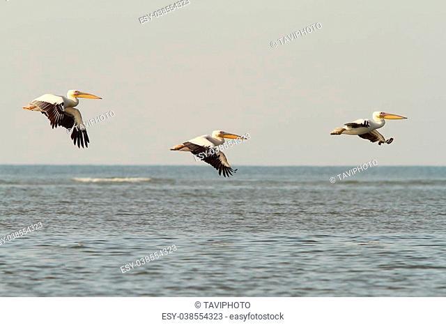 three great pelicans in flight over the sea ( Pelecanus onocrotalus )