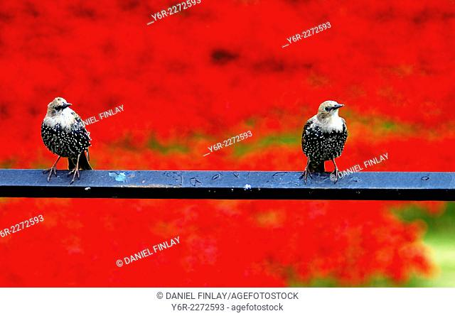 Two Tower of London starlings against a background of artificial poppies planted in the drained moat of the Tower of London to commemorate the British and...