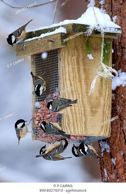 coal tit Parus ater, several birds feeding at a birdhouse, United Kingdom, Scotland, Cairngorms National Park, Glenfeshie