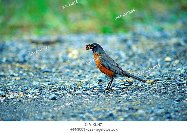American Robin, Turdus migratorius, Turdidae, Thrush, male, with worms, feeding, bird, animal, Banff National Park, Alberta, Canada