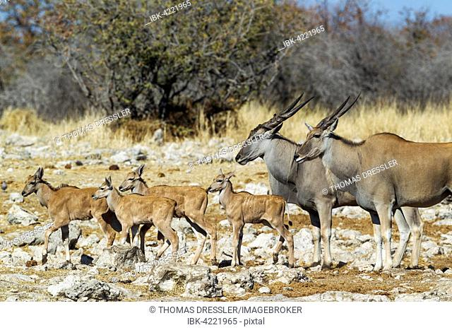Eland (Taurotragus oryx), female on the right, male and four calves, on their way to a waterhole, Etosha National Park, Namibia