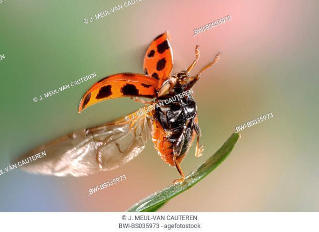 multicoloured Asian beetle (Harmonia axyridis), flying
