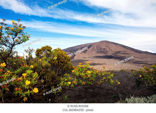 Volcanic landscape with yellow shrub flowers and Piton de la Fournaise, Reunion Island