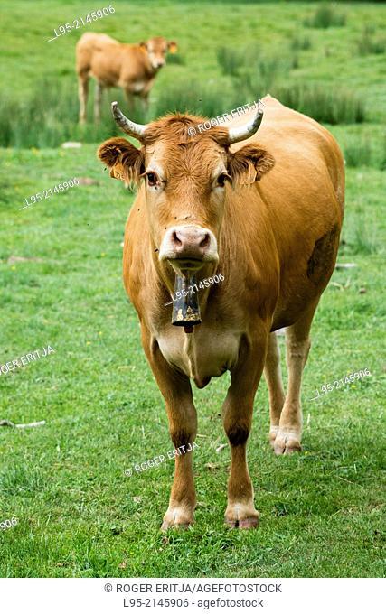 Pyrenees cattle in mountain meadow, La Pobla de Lillet, Spain