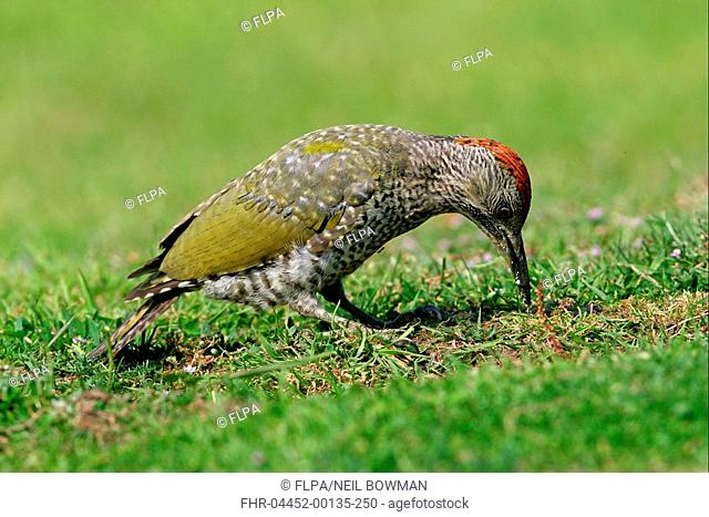 Green Woodpecker Picus viridis Juvenile feeding on ant eggs, ant on chest, Norfolk, England, august