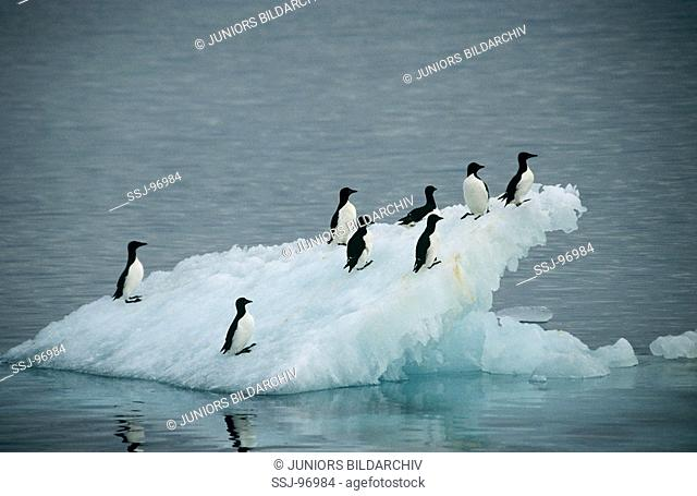 uria lomvia / Brünnich's Guillemots on an ice floe