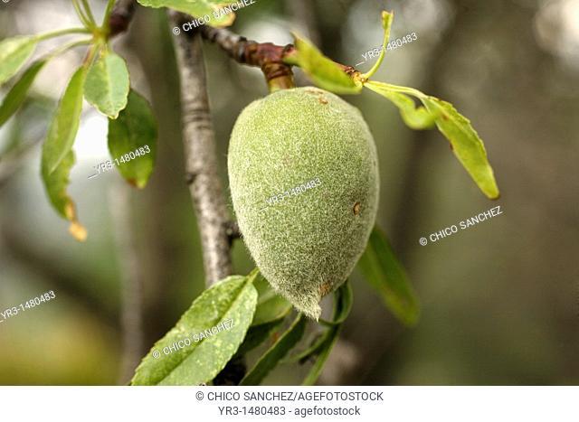 An sweet almond tree fruit, Prunus Dulcis, in El Gastor village in the Sierra de Grazalema Natural Park, Cadiz province, Andalusia, Spain, april 25, 2011
