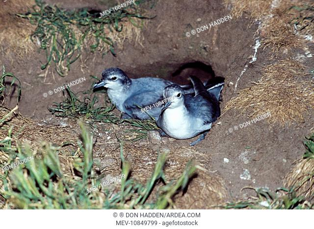 Fairy PRIONS - pair in nest (Pachyptila turtur). Motunau Island, New Zealand. Distribution: S E Australia, New Zealand and Falkland islands