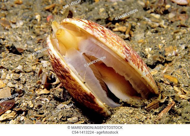 Venus clam, Banded carpet shell (Venerupis rhomboideus), Eastern Atlantic, Galicia, Spain