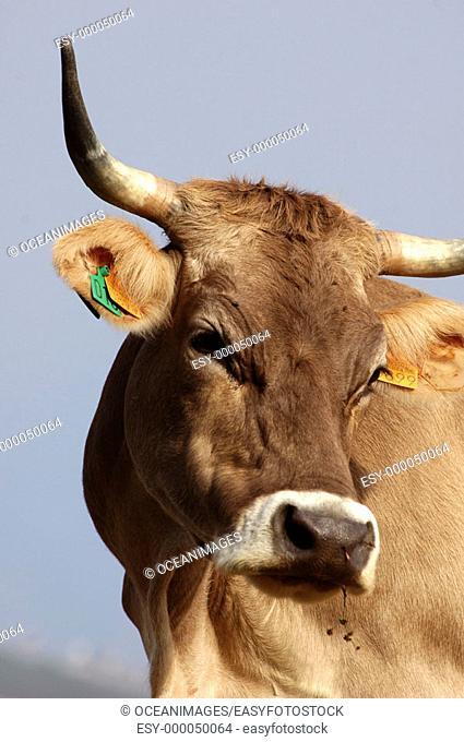 Cow. Lagos de Covadonga, Asturias, Spain