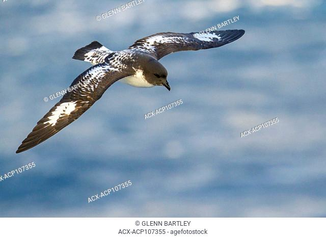 Cape Petrel (Daption capense) flying over the ocean searching for food near South Georgia Island