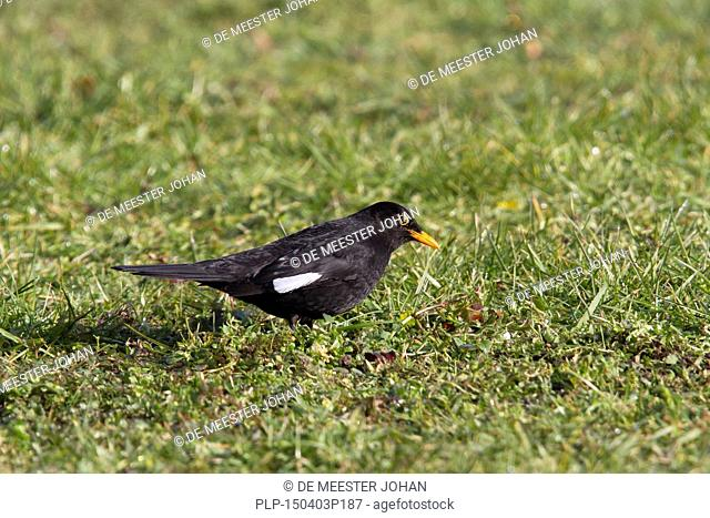 Male blackbird (Turdus merula) with white feather showing partial albinism