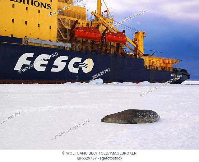 Weddell Seal (Leptonychotes weddellii) on the ice in McMurdo Sound with ice breaker Kapitan Khlebnikov at back, Antarctic